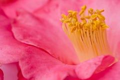 Flor cor-de-rosa da camélia - macro - close-up com estame amarelo imagem de stock royalty free