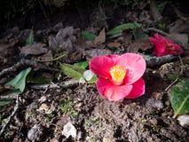 Flor cor-de-rosa da camélia na terra fotos de stock