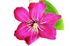 Flor cor-de-rosa da clematite Fotos de Stock Royalty Free