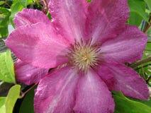 Flor cor-de-rosa da clematite na mola em maio imagens de stock royalty free