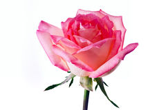 Flor cor-de-rosa da cor-de-rosa fotografia de stock royalty free