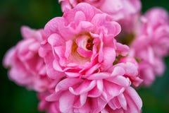 Flor cor-de-rosa da cor-de-rosa bonita fotos de stock royalty free