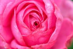 Flor cor-de-rosa da cor-de-rosa bonita fotografia de stock