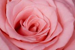 Flor cor-de-rosa da cor-de-rosa bonita Fotografia de Stock Royalty Free
