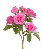 Flor cor-de-rosa da cor-de-rosa das flores das rosas Foto de Stock Royalty Free