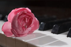 Flor cor-de-rosa da cor-de-rosa em chaves do piano Fotografia de Stock Royalty Free