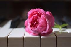 Flor cor-de-rosa da cor-de-rosa em chaves do piano Imagens de Stock Royalty Free