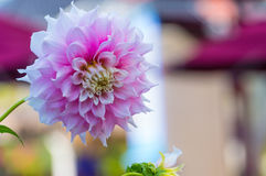 Flor cor-de-rosa da dália imagens de stock royalty free