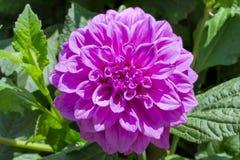 Flor cor-de-rosa da dália do tinge imagem de stock