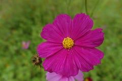 Flor cor-de-rosa da exploração agrícola de Jim Thomson Imagem de Stock