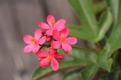 flor cor-de-rosa da flor Fotografia de Stock