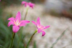 Flor cor-de-rosa da flor com folha verde Fotos de Stock Royalty Free