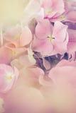 Flor cor-de-rosa da hortênsia com efeito da cor Fotografia de Stock Royalty Free