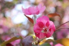 Flor cor-de-rosa da maçã imagens de stock royalty free