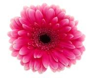 Flor cor-de-rosa da margarida Imagens de Stock Royalty Free