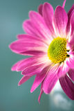 Flor cor-de-rosa da margarida imagem de stock royalty free