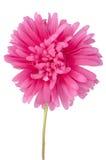 Flor cor-de-rosa da margarida fotografia de stock royalty free