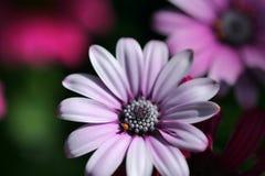 Flor cor-de-rosa da margarida imagem de stock
