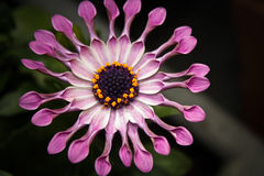 Flor cor-de-rosa da margarida africana Imagem de Stock Royalty Free