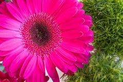 Flor cor-de-rosa da margarida do gerbera em um fundo verde da mola Fotos de Stock Royalty Free