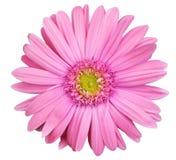 Flor cor-de-rosa da margarida do gerbera isolada no fundo branco Imagem de Stock Royalty Free
