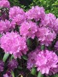 Flor cor-de-rosa da mola Fotografia de Stock