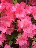 Flor cor-de-rosa da mola Fotografia de Stock Royalty Free