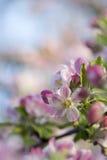 Flor cor-de-rosa da mola dos tons Imagem de Stock
