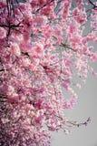 Flor cor-de-rosa da mola em uma cor impressionante brilhante do ` s de Sunny Afternoon Showing Off It na cidade Washington da que imagem de stock