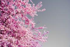 Flor cor-de-rosa da mola em uma cor impressionante brilhante do ` s de Sunny Afternoon Showing Off It na cidade Washington da que imagens de stock royalty free