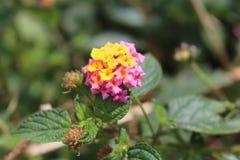 Flor cor-de-rosa da montagem de Merapi fotos de stock royalty free