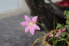 Flor cor-de-rosa da natureza fotos de stock royalty free