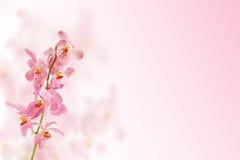 Flor cor-de-rosa da orquídea Imagens de Stock