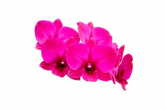 Flor cor-de-rosa da orquídea Imagem de Stock Royalty Free
