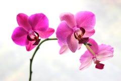 Flor cor-de-rosa da orquídea Fotos de Stock