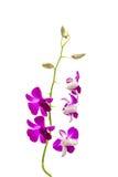 Flor cor-de-rosa da orquídea Imagens de Stock Royalty Free