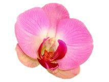 Flor cor-de-rosa da orquídea fotografia de stock royalty free