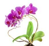 Flor cor-de-rosa da orquídea com folhas verdes Fotos de Stock Royalty Free