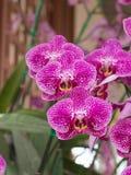Flor cor-de-rosa da orquídea do phalanopsis Foto de Stock