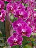 Flor cor-de-rosa da orquídea do phalanopsis Imagens de Stock