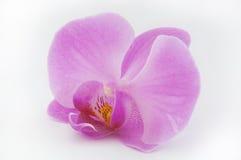 Flor cor-de-rosa da orquídea isolada no fundo branco Fotos de Stock Royalty Free
