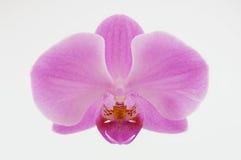 Flor cor-de-rosa da orquídea isolada no fundo branco Fotos de Stock
