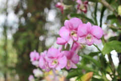 Flor cor-de-rosa da orquídea no fundo do borrão do jardim, vagabundos cor-de-rosa do borrão da flor Fotos de Stock Royalty Free