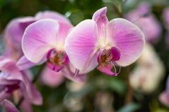 Flor cor-de-rosa da orqu?dea foto de stock