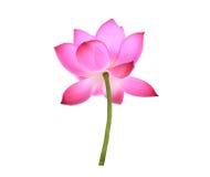 Flor cor-de-rosa da pétala dos lótus isolada no branco Foto de Stock
