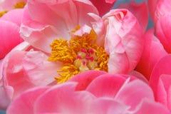 Flor cor-de-rosa da peônia com estame Foto macro Imagem de Stock