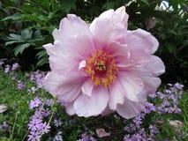 Flor cor-de-rosa da peônia no jardim imagem de stock royalty free