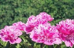 Flor cor-de-rosa da peônia fotografia de stock