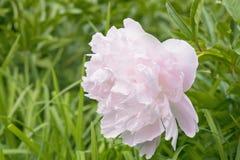 Flor cor-de-rosa da peônia imagens de stock