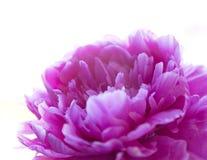 Flor cor-de-rosa da peônia isolada no fundo branco Fotografia de Stock Royalty Free